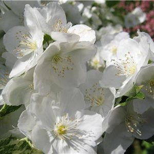 picture-of-orange-blossom-scent-small
